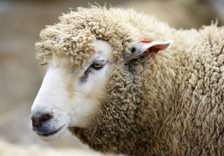 羊、ウール